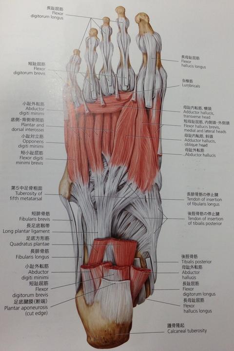 00517 - 【百本コラム】七本目:『足部の運動連鎖トリガー応用編』